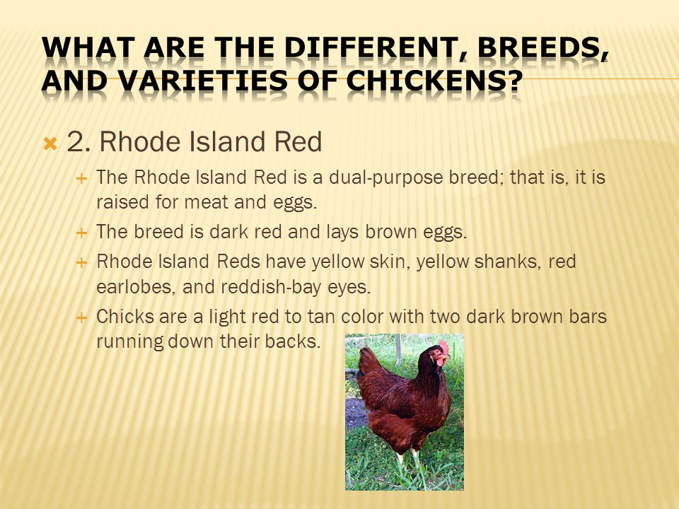 What are the different, breeds, and varieties of chickens