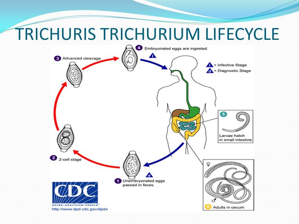 TRICHURIS TRICHURIUM LIFECYCLE