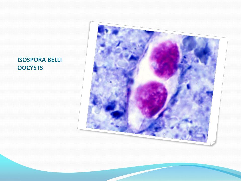 ISOSPORA BELLI OOCYSTS