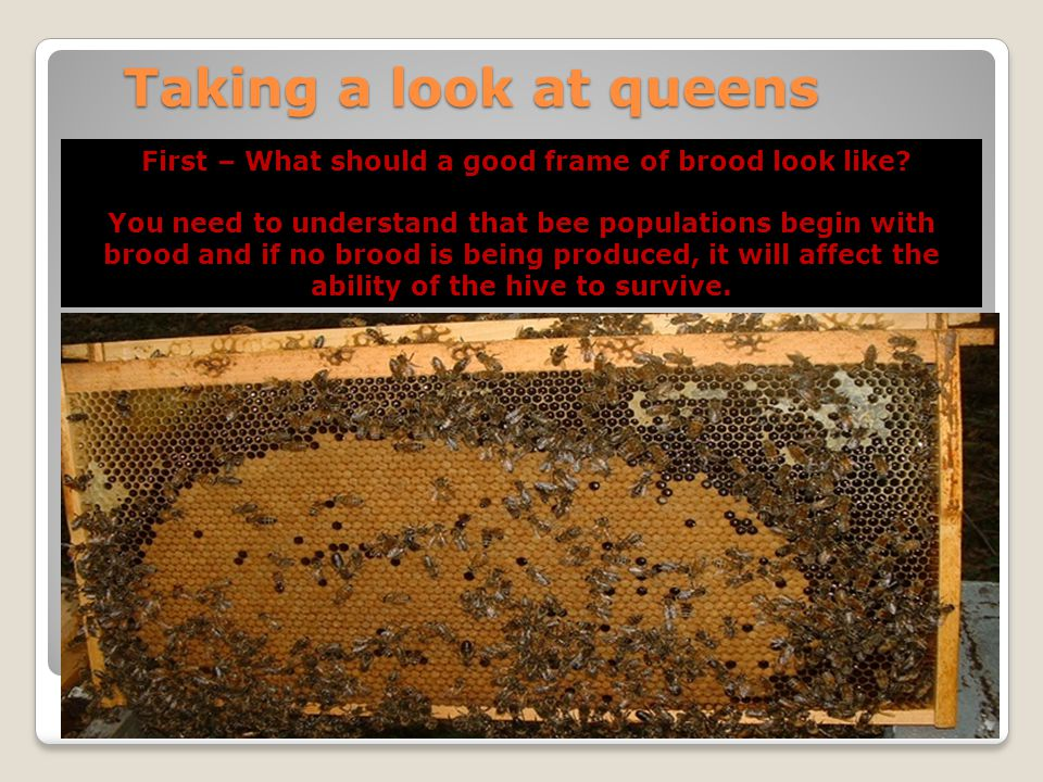 First – What should a good frame of brood look like