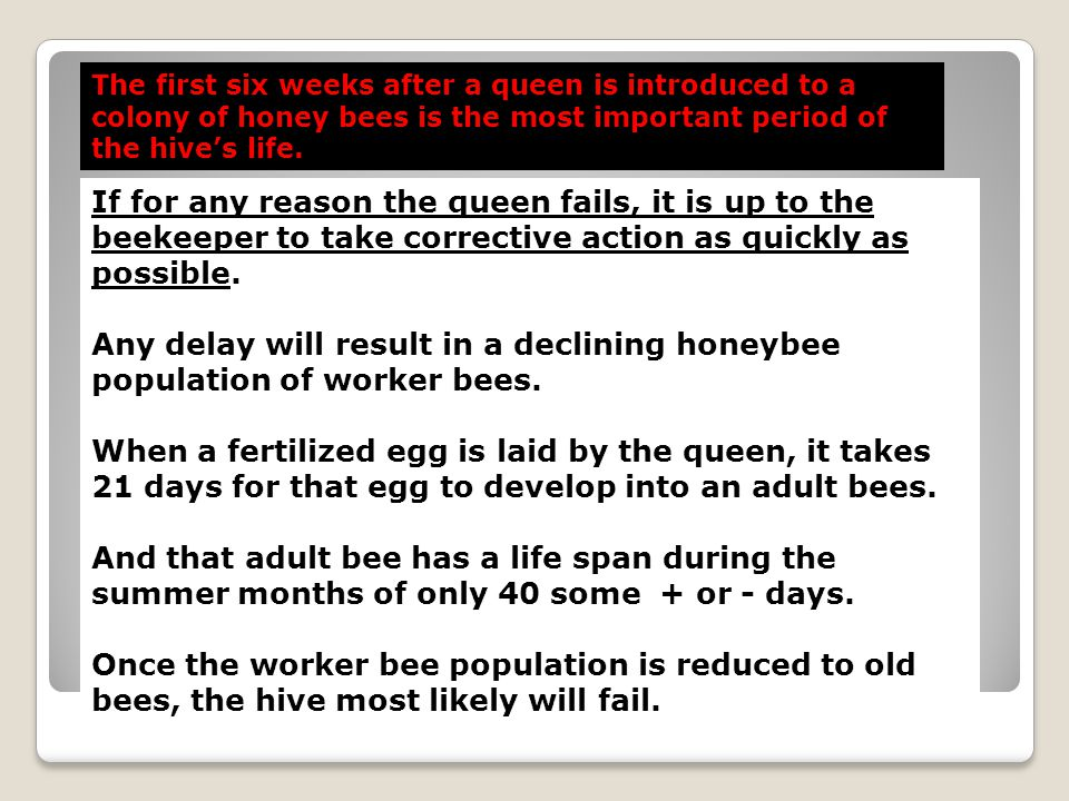 The first six weeks after a queen is introduced to a colony of honey bees is the most important period of the hive's life.