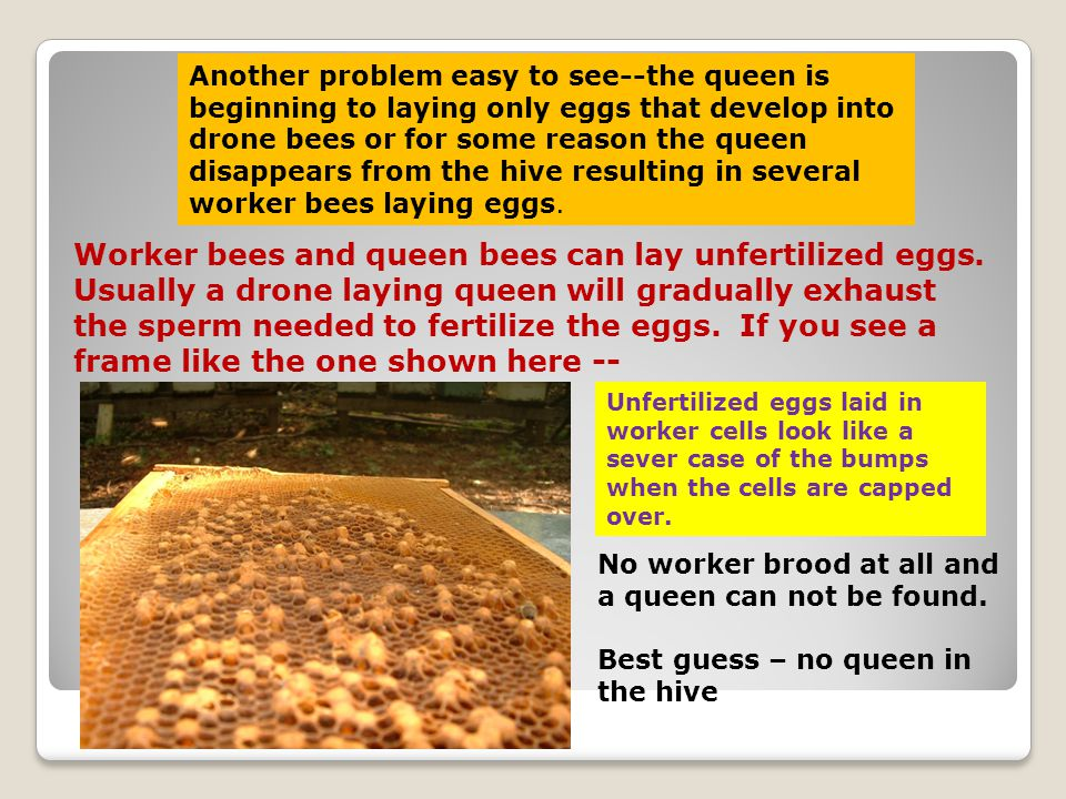 Another problem easy to see--the queen is beginning to laying only eggs that develop into drone bees or for some reason the queen disappears from the hive resulting in several worker bees laying eggs.