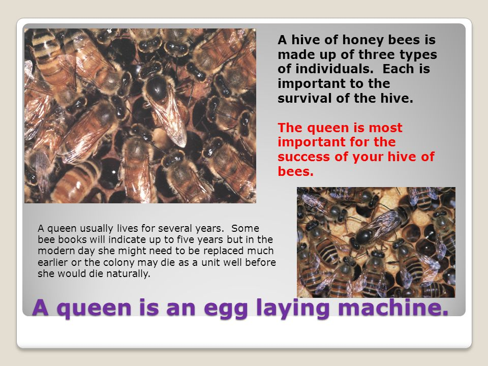 A queen is an egg laying machine.