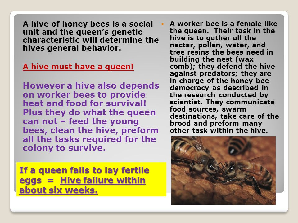 A hive of honey bees is a social unit and the queen's genetic characteristic will determine the hives general behavior.