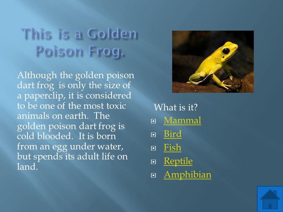 This is a Golden Poison Frog.