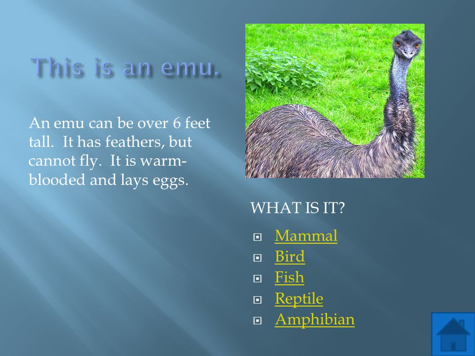 This is an emu. An emu can be over 6 feet tall. It has feathers, but cannot fly. It is warm-blooded and lays eggs.