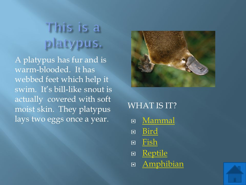 This is a platypus.