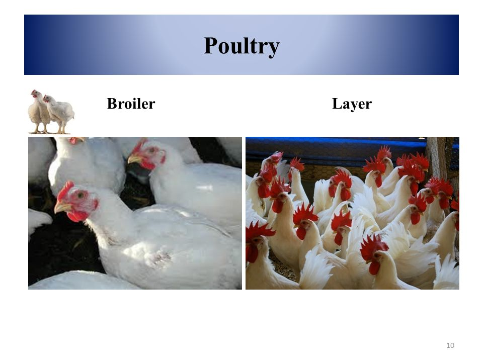 Poultry Broiler Layer