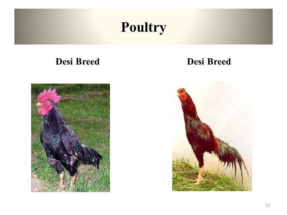 Poultry Desi Breed Desi Breed