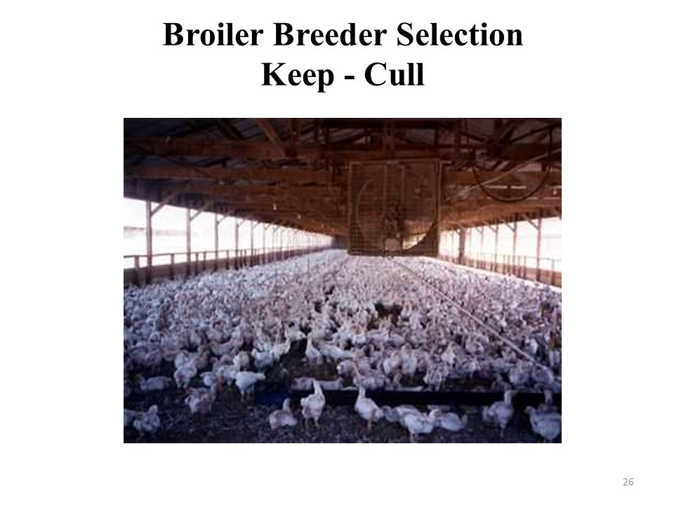 Broiler Breeder Selection Keep - Cull