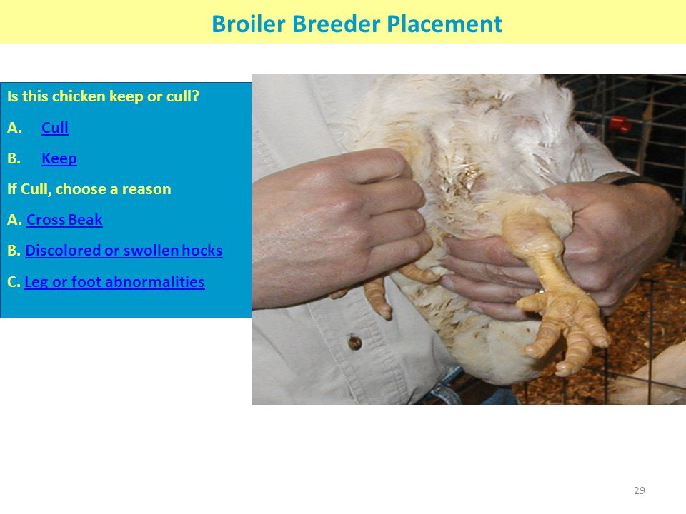 Broiler Breeder Placement