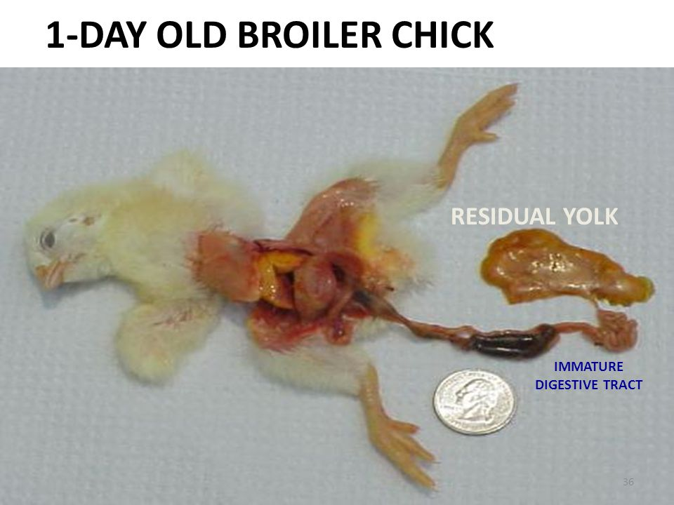 1-DAY OLD BROILER CHICK RESIDUAL YOLK IMMATURE DIGESTIVE TRACT