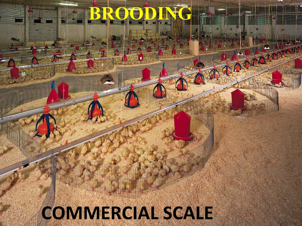 BROODING COMMERCIAL SCALE