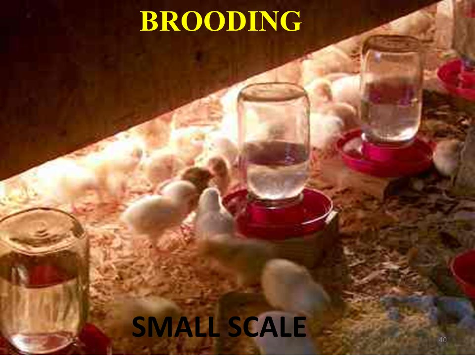 BROODING SMALL SCALE