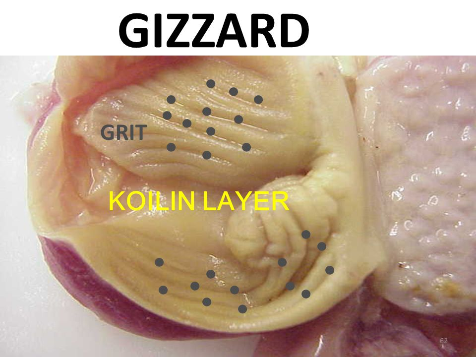 GIZZARD GRIT KOILIN LAYER