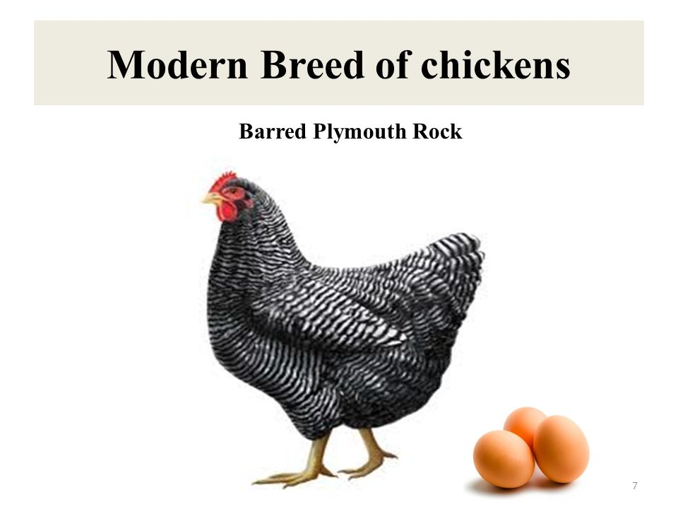 Modern Breed of chickens