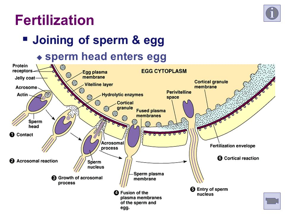 Fertilization Joining of sperm & egg sperm head enters egg