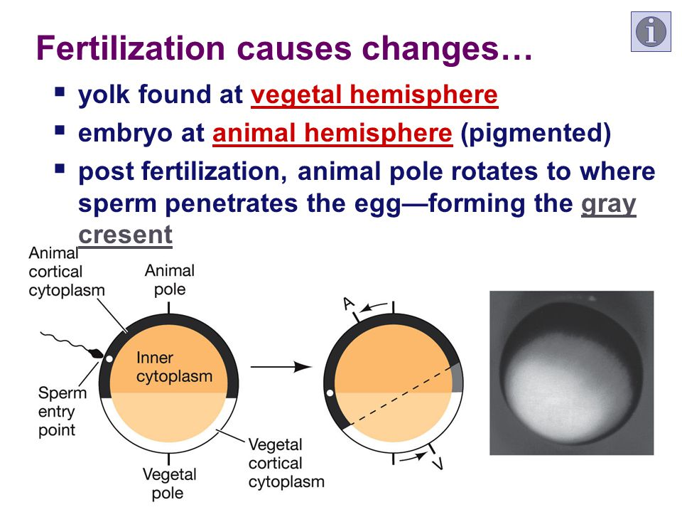 Fertilization causes changes…