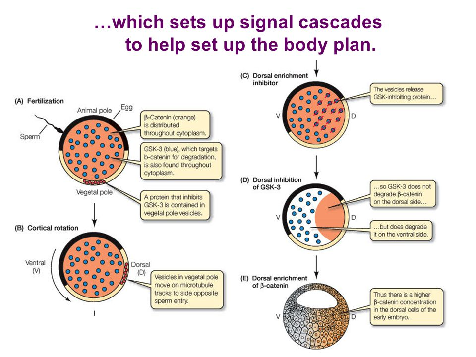 …which sets up signal cascades to help set up the body plan.