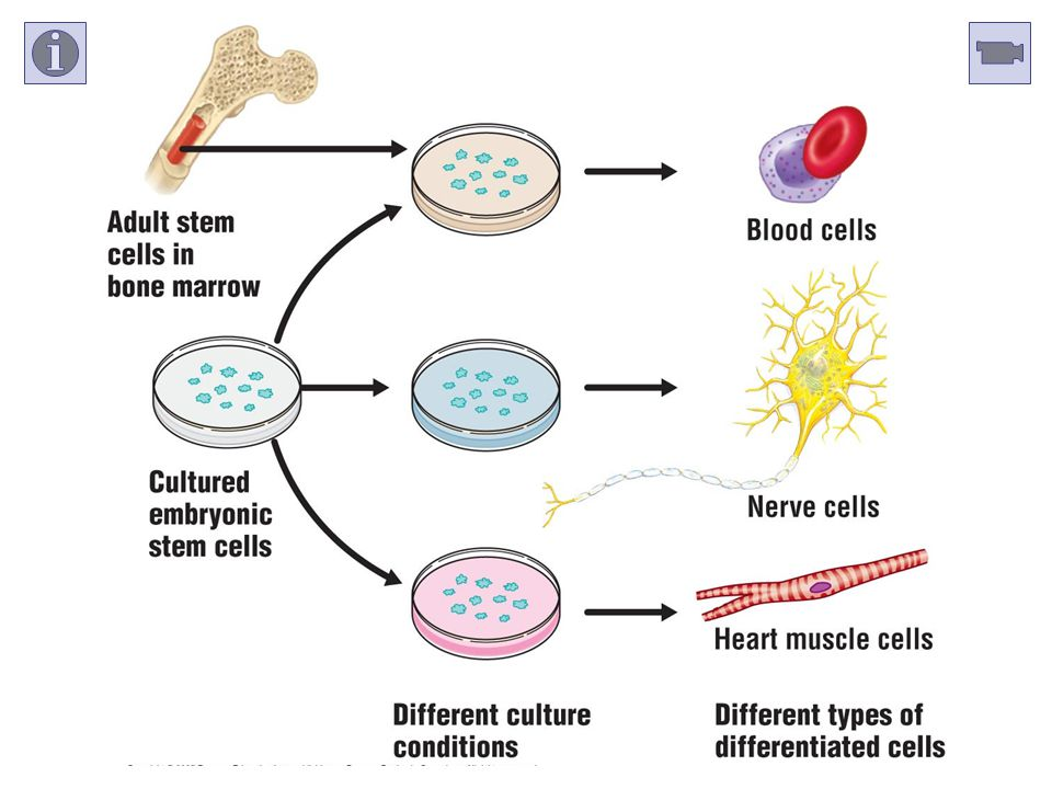 AP Link—Ch 42-43: Embryonic Stem Cells
