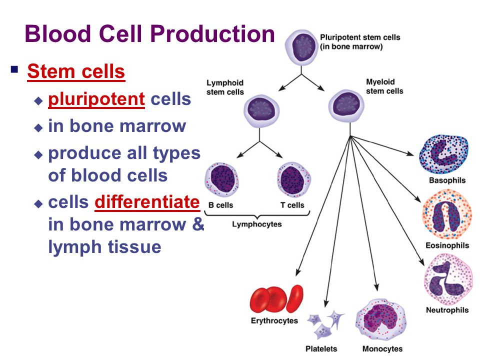 Blood Cell Production Stem cells pluripotent cells in bone marrow