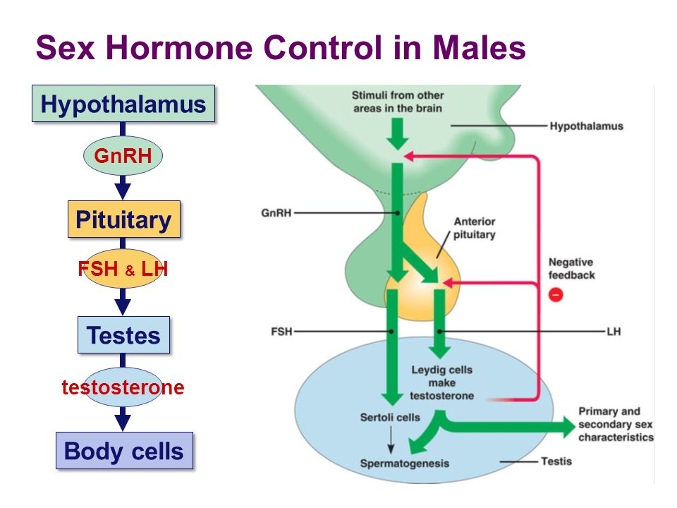 Sex Hormone Control in Males
