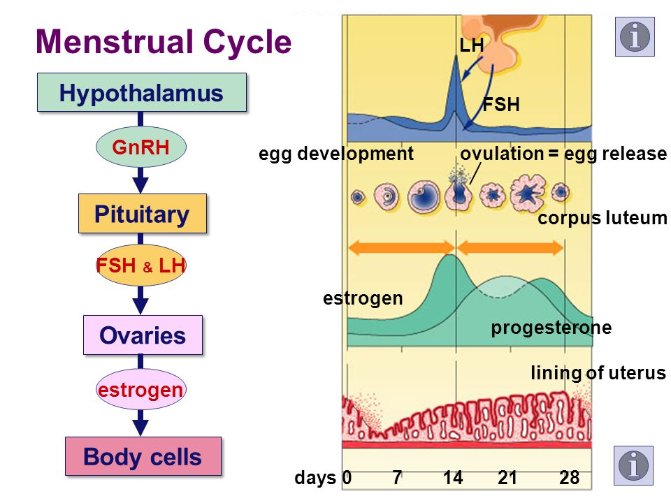 Menstrual Cycle Hypothalamus Pituitary Ovaries Body cells GnRH