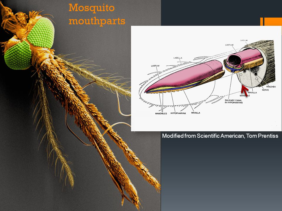 Mosquito mouthparts Modified from Scientific American, Tom Prentiss