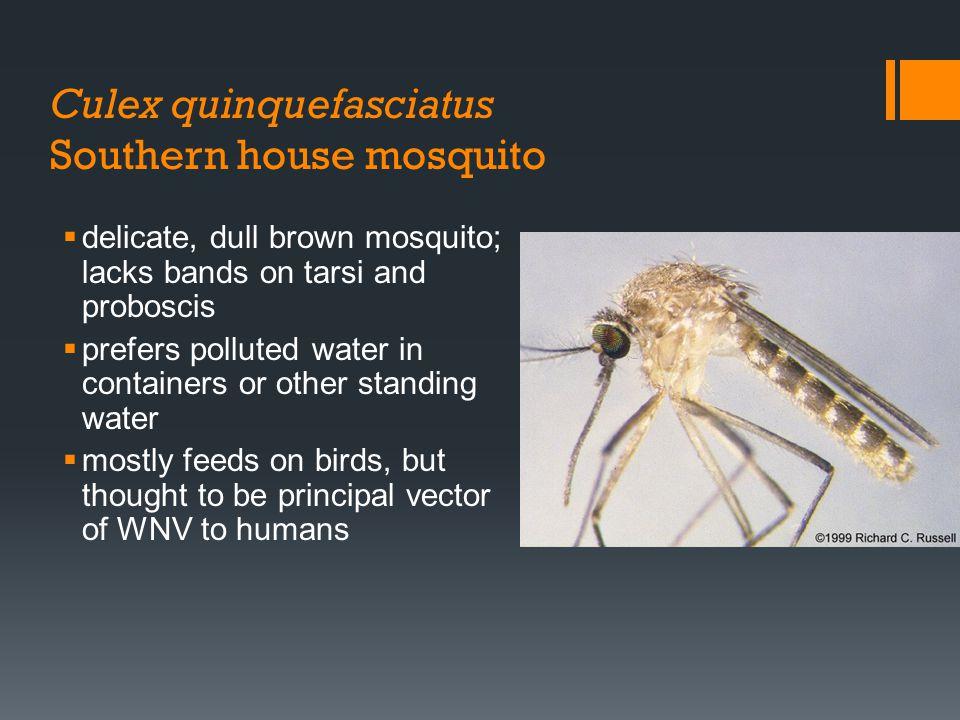 Culex quinquefasciatus Southern house mosquito