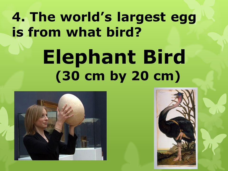 Elephant Bird 4. The world's largest egg is from what bird