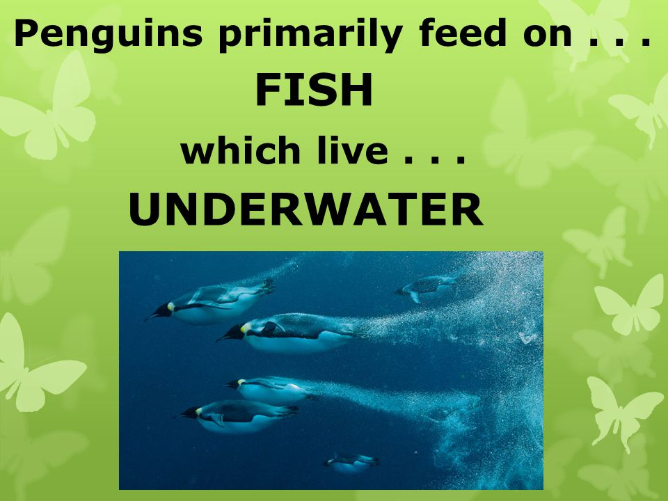 Penguins primarily feed on . . .