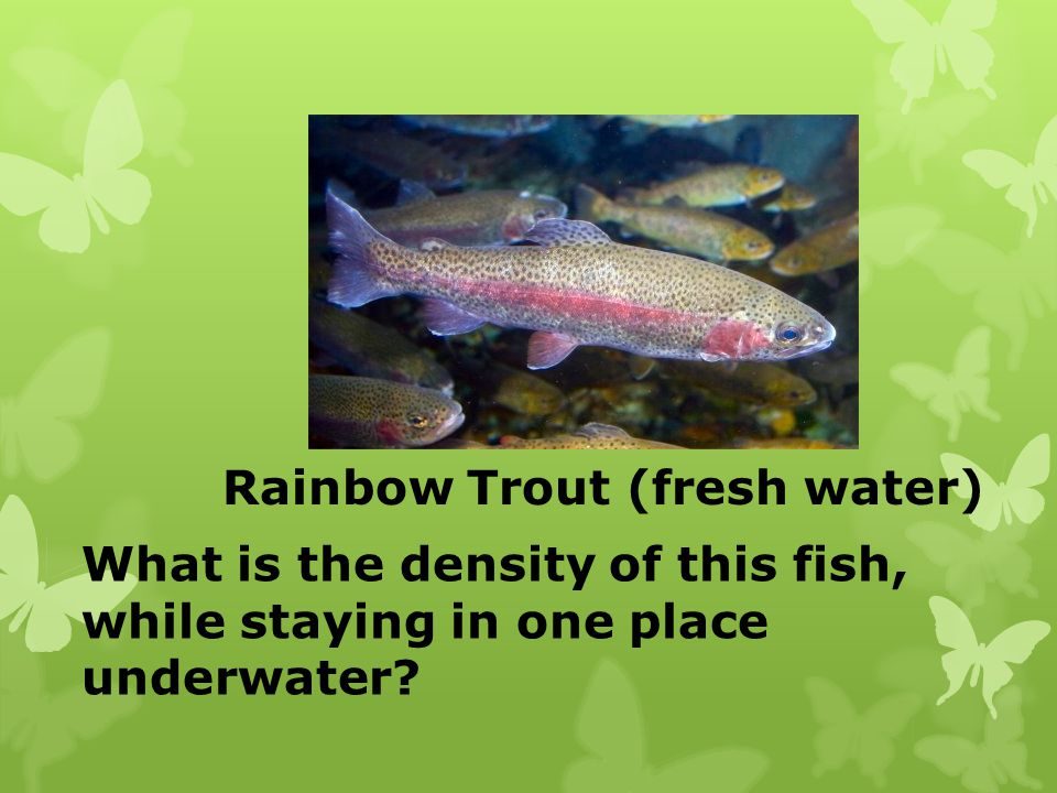 Rainbow Trout (fresh water)