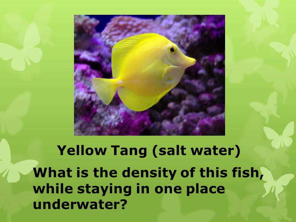 Yellow Tang (salt water)