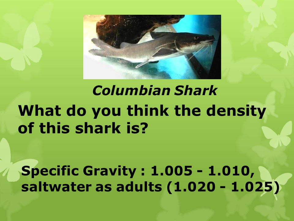 What do you think the density of this shark is
