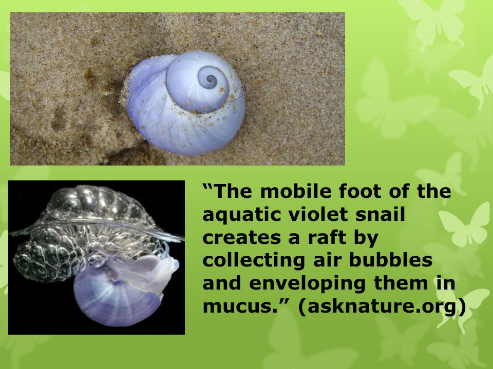The mobile foot of the aquatic violet snail creates a raft by collecting air bubbles and enveloping them in mucus. (asknature.org)