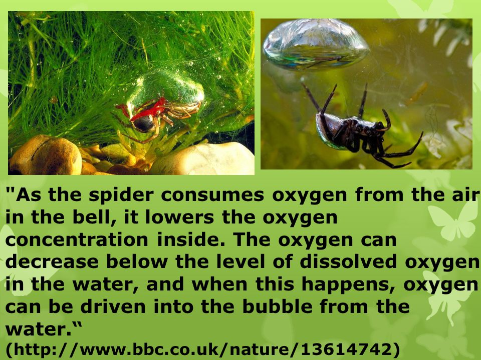 As the spider consumes oxygen from the air in the bell, it lowers the oxygen
