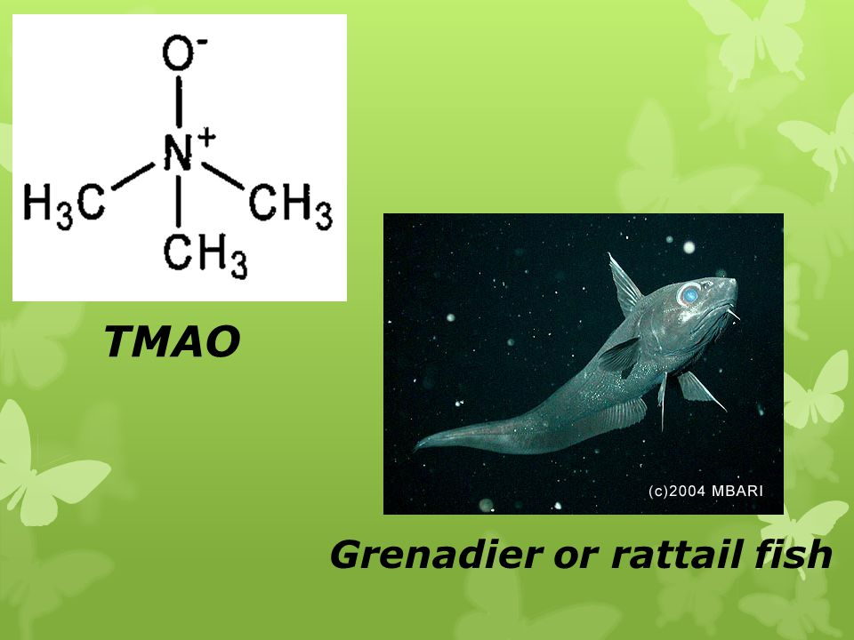 TMAO Grenadier or rattail fish