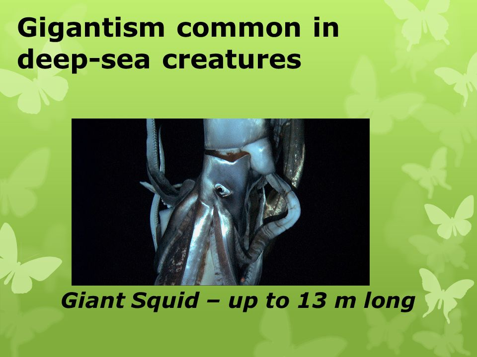 Gigantism common in deep-sea creatures Giant Squid – up to 13 m long