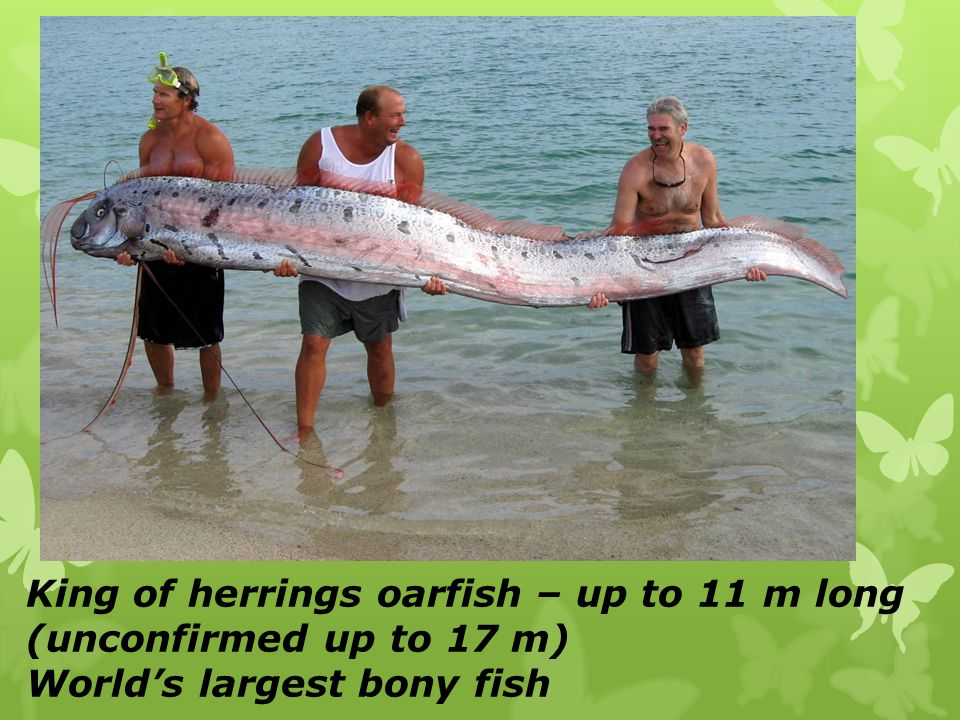 King of herrings oarfish – up to 11 m long