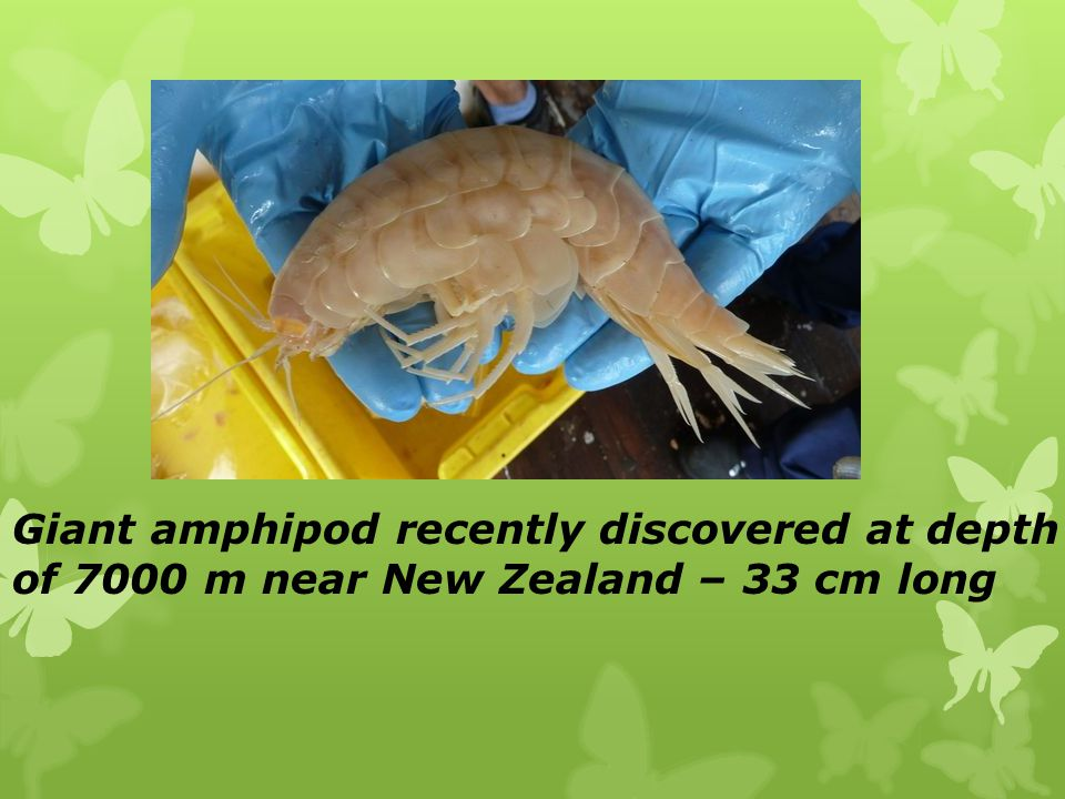 Giant amphipod recently discovered at depth