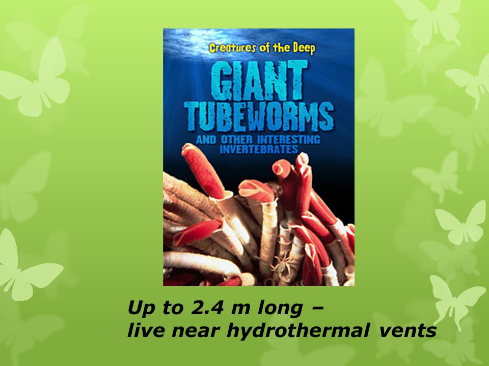 Up to 2.4 m long – live near hydrothermal vents