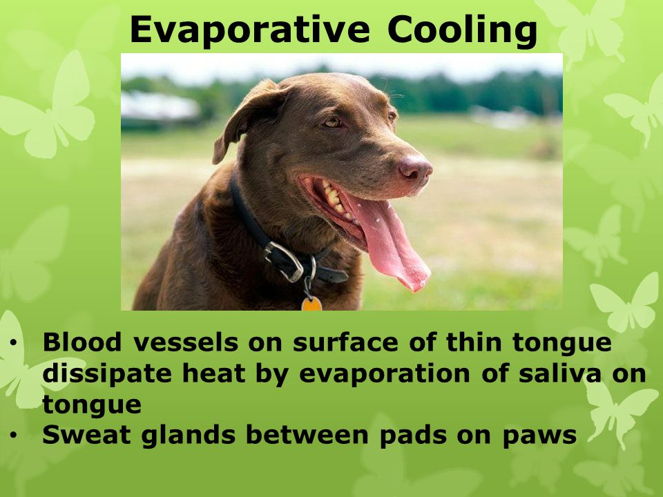 Evaporative Cooling Blood vessels on surface of thin tongue dissipate heat by evaporation of saliva on tongue.