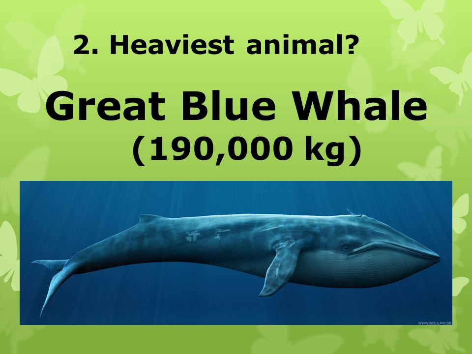 2. Heaviest animal Great Blue Whale (190,000 kg)