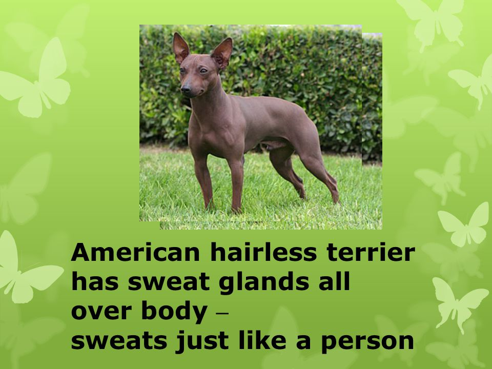 American hairless terrier has sweat glands all over body –