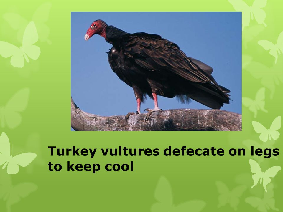 Turkey vultures defecate on legs to keep cool