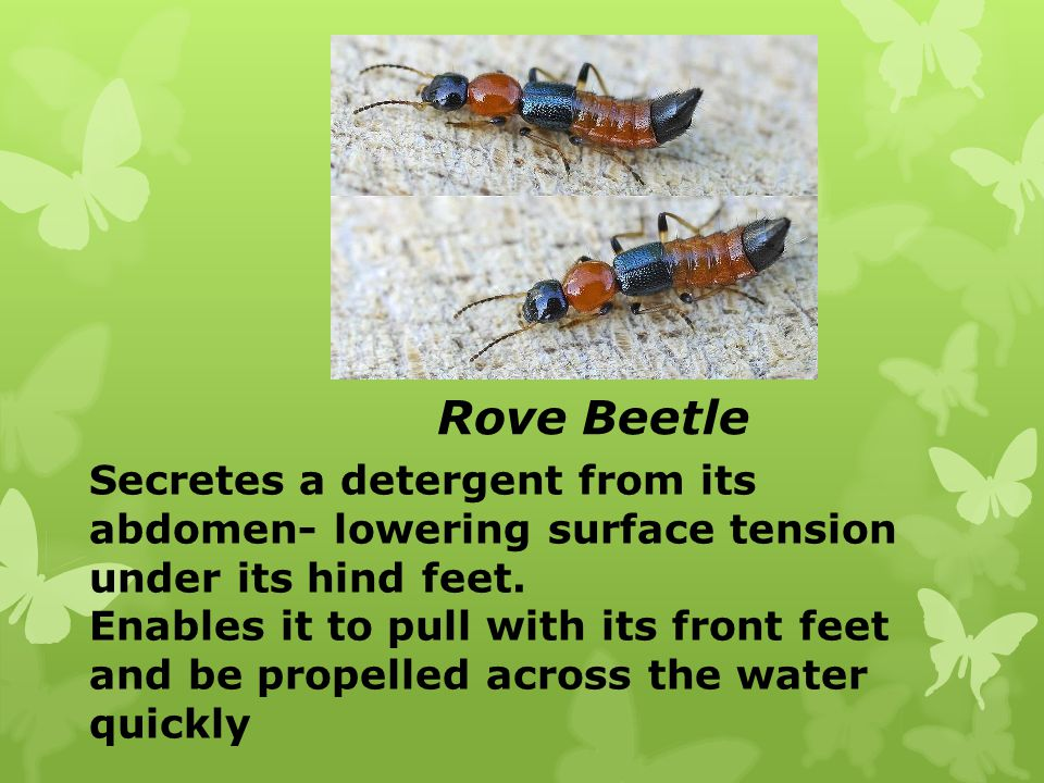 Rove Beetle Secretes a detergent from its abdomen- lowering surface tension under its hind feet.