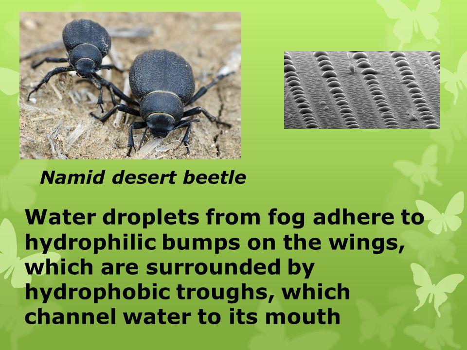 Namid desert beetle