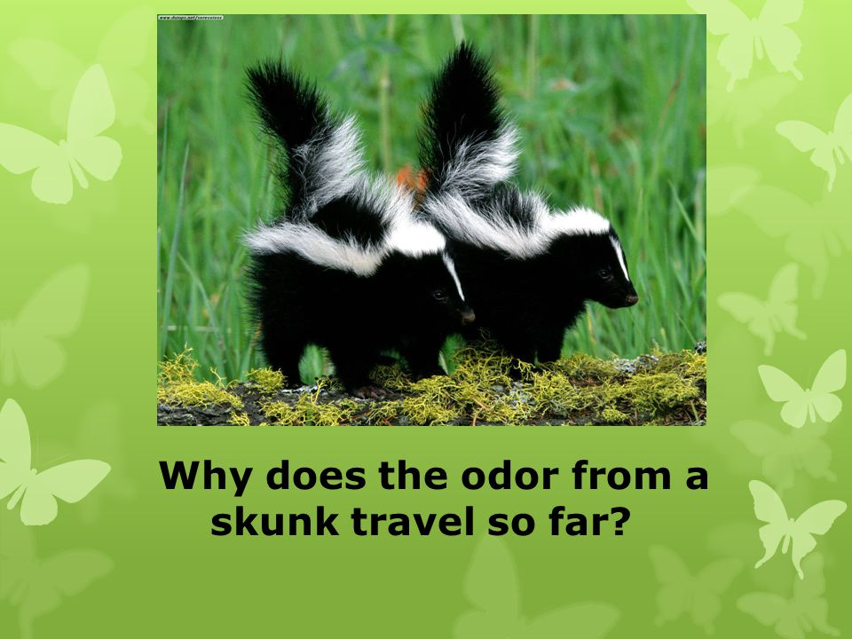 Why does the odor from a skunk travel so far