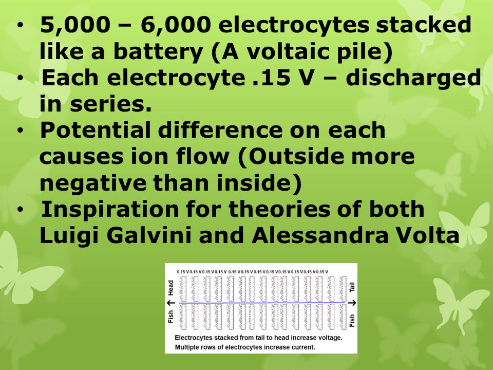 5,000 – 6,000 electrocytes stacked