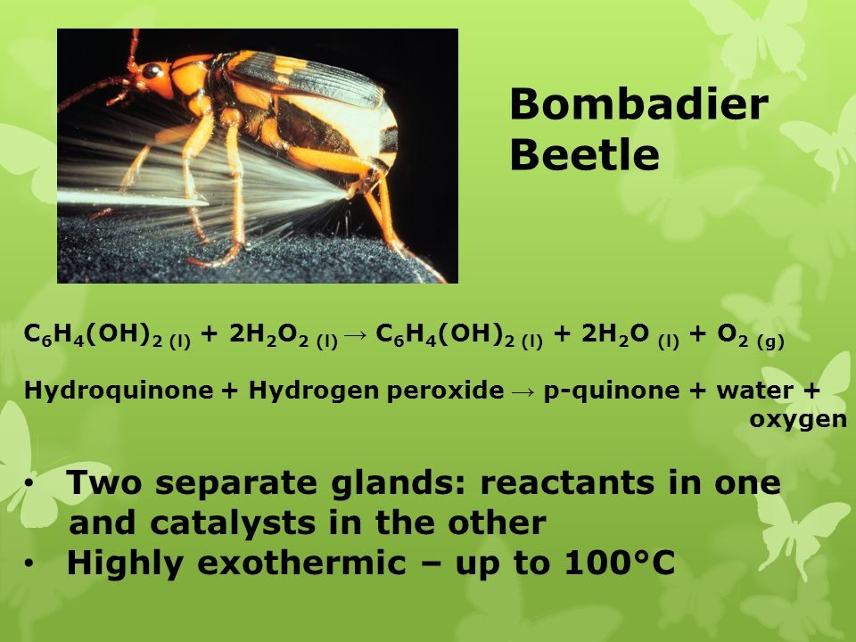 Bombadier Beetle Two separate glands: reactants in one